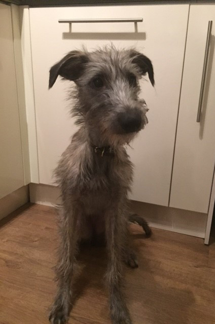 Lossie, a grey deerhound.