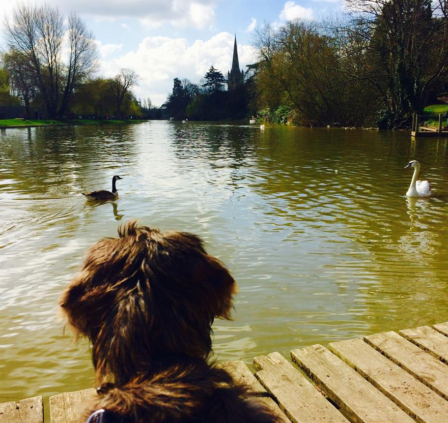 Zeus the puppy looking at the river where a swan and a goose are swimming