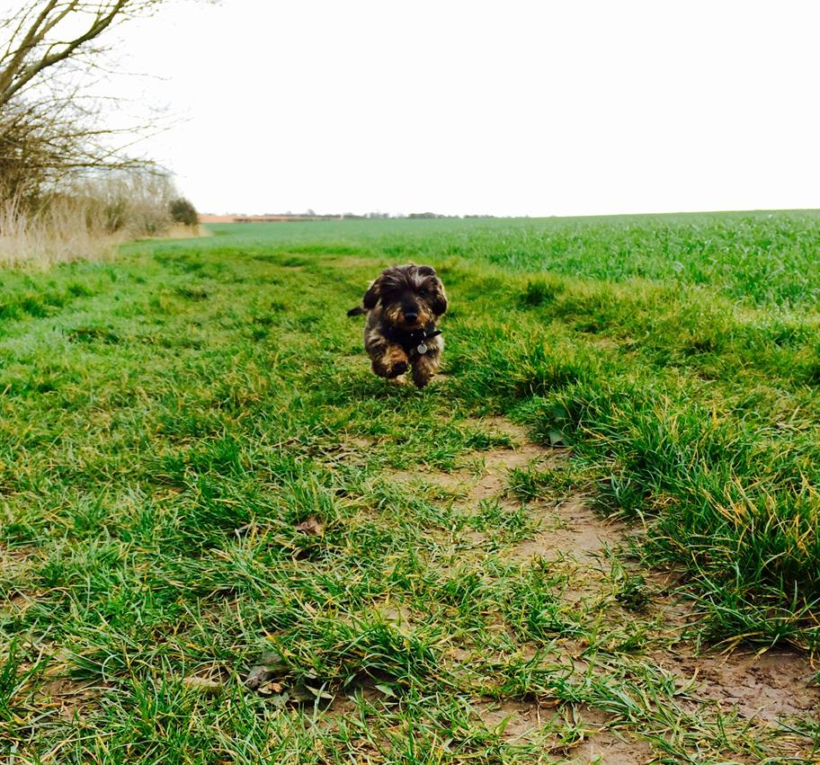 Puppy Zeus running in a field