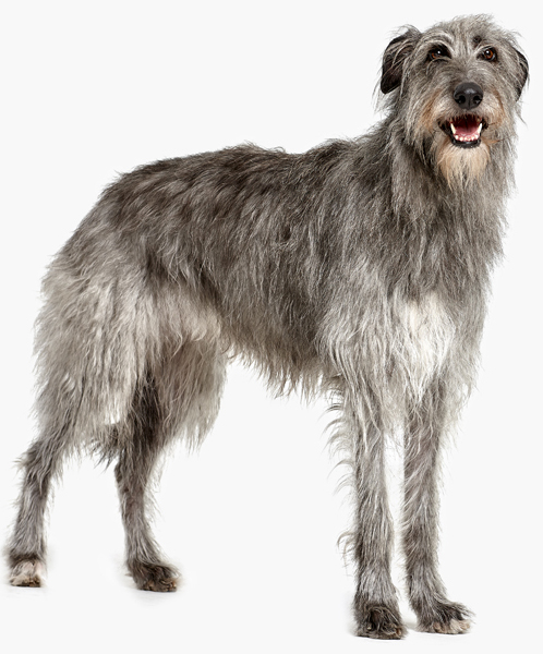 A dog with a grey and white shaggy coat